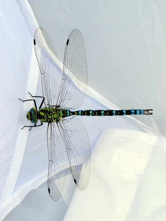quietly posing a dragonfly on a white background photo