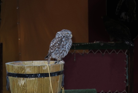 turtle dove: little owl perched on a wooden bucket