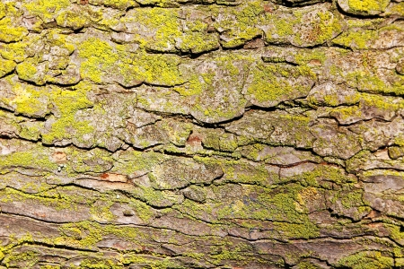 foreground tree bark with moss Stock Photo - 14436452