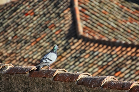 Pigeons walking in the old roofs of the houses photo