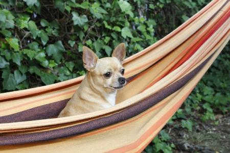 long hair chihuahua: Nice dog standing on a hammock Stock Photo