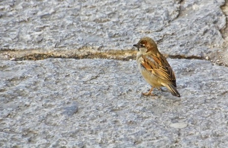 sparrow walking on the floor photo