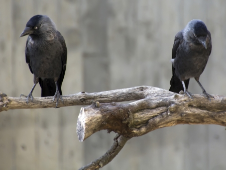 crows on a branch photo