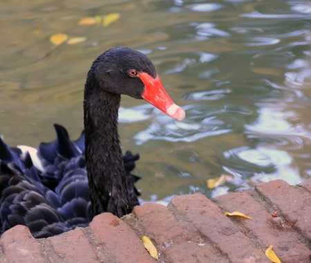 beautiful Black Swan red beak photo