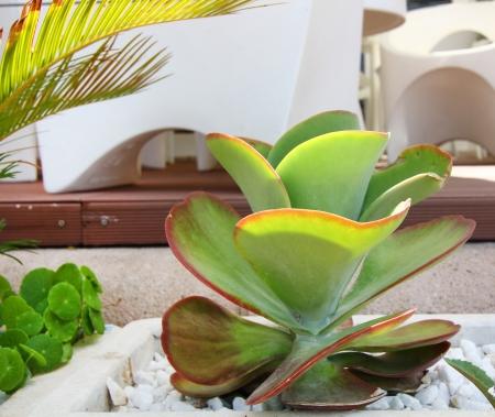 fleshy: fleshy green leaves plant