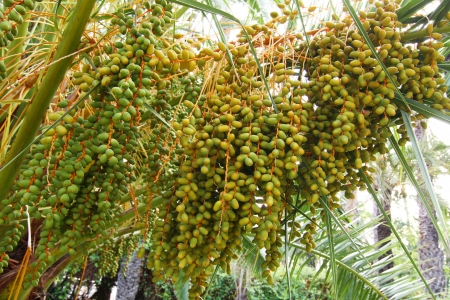 Dates unripe in the branches of a palm tree photo