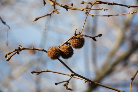 chestnuts hanging from tree at sunset Stock Photo - 16573238