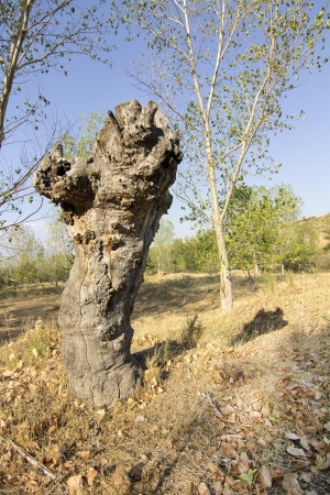 sad old dried oak tree Stock Photo - 17044979