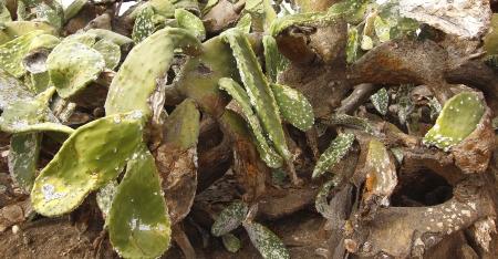 half dried wild cactus Stock Photo - 17044702