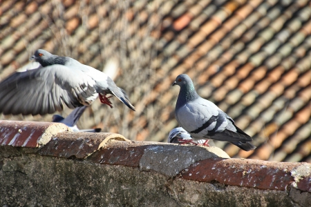 Pigeons walking in the old roofs of the houses Stock Photo - 17191001