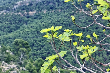 branches of fig trees in the mountains Stock Photo - 17190812