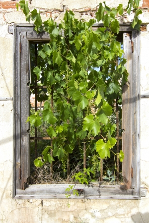 window of House abandoned with vines of coming out for her photo