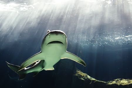 tanks: huge bull shark swimming