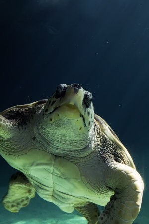 beautiful sea turtle swimming Stock Photo - 20454284