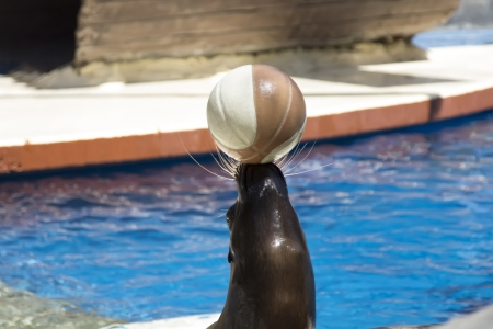 roaring sea: making sea lion balancing a ball on his nose Stock Photo