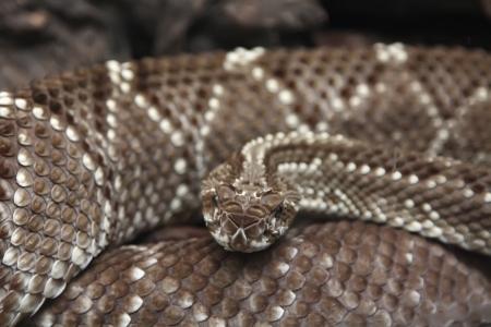 terrifying: terrifying rattlesnake coiled Stock Photo