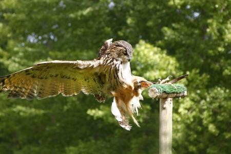 stunning brown owl in flight photo