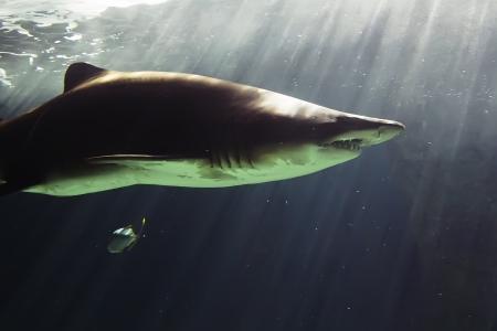bull shark: huge bull shark swimming