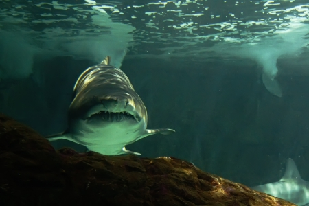 bull shark: huge bull shark swimming