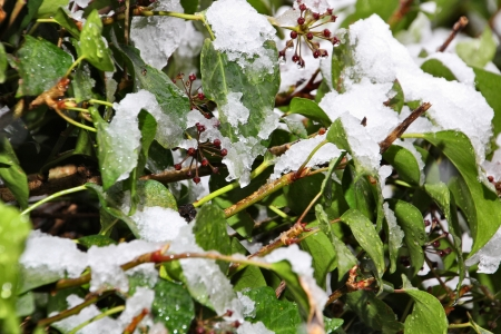 snowing on a garden ivy photo
