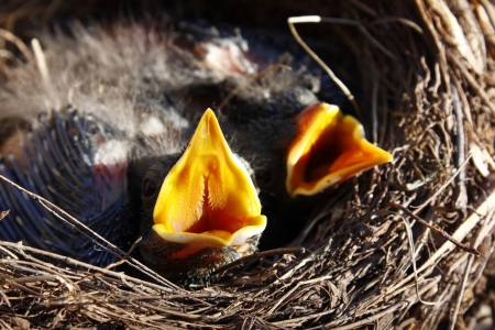 small Blackbirds just leave the egg in the nest photo