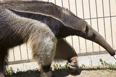 walking anteater photo
