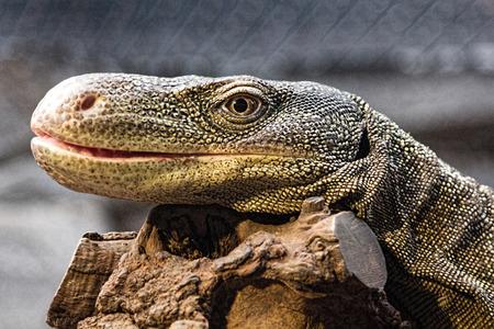 oversized lizard resting on a branch photo