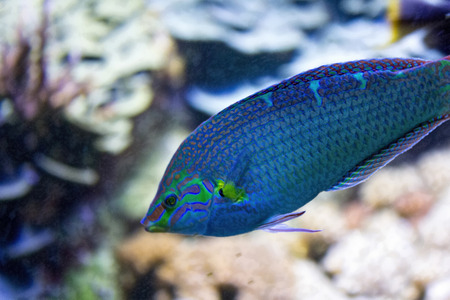 blue fish: beautiful blue tropical fish