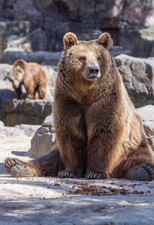 brown bear sitting so funny photo