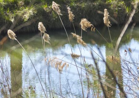 black mammoth: flowering reeds on the bank of river Devun