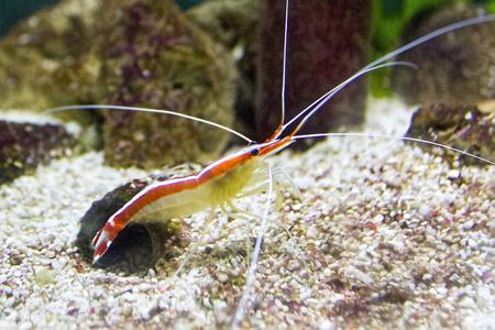 colorful sea prawn photo