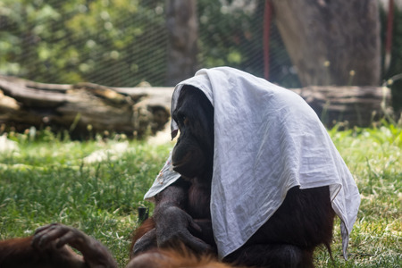 Orangutan playing with a scarf photo