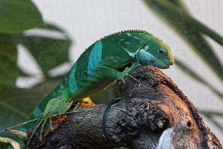 jaszczurka: ładne jaszczurki obszary dżungli z zielonych barwach Zdjęcie Seryjne