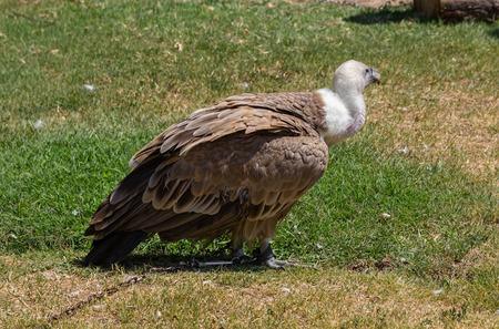 gyps: Griffon Vulture (Gyps fulvus)