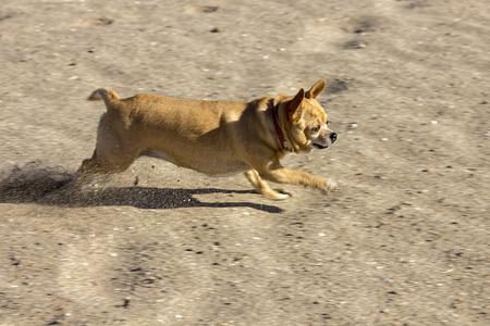 swiftly: chihuahua runs swiftly along the beach Stock Photo