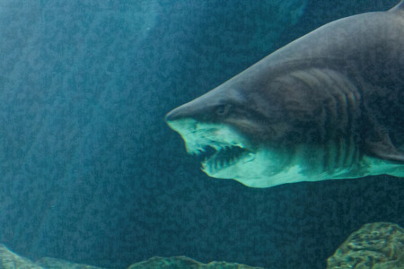 bull shark: dangerous bull shark jaw huge Stock Photo