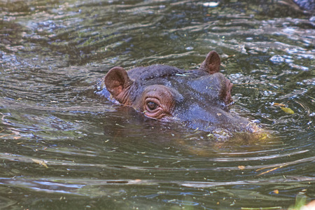 African hippo resting in the water photo