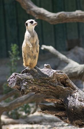 climbed: meerkat climbed a dry trunk Stock Photo