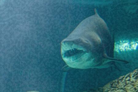 bull shark: dangerous bull shark jaw huge Stock Photo