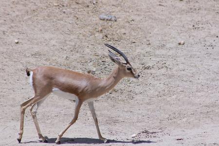 herbivore natural: Gazelle walking in the Sun