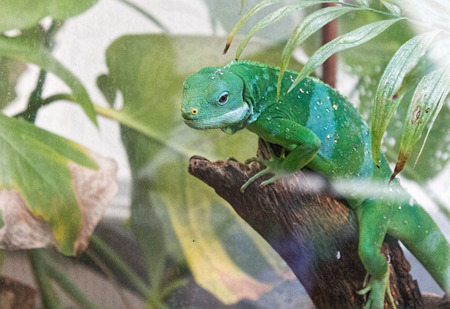 enters: chameleon enters the branches of a tree