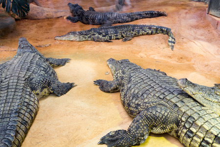 niloticus: group of dangerous Nile crocodiles resting (Crocodylus niloticus)