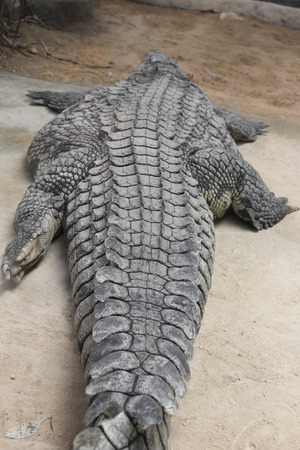 niloticus: detail of a giant Nile crocodile along (Crocodylus niloticus)