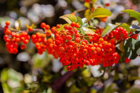 ripen: Viburnum berries ripen on the bush