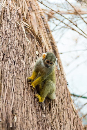 omnivores: yellow squirrel monkey (Saimiri sciureus)