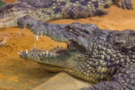 crocodylus: giant Nile crocodile with its huge open mouth (Crocodylus niloticus) Stock Photo