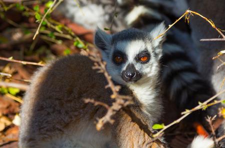 ring tailed: Ring Tailed Lemur or white front (Lemur catta)