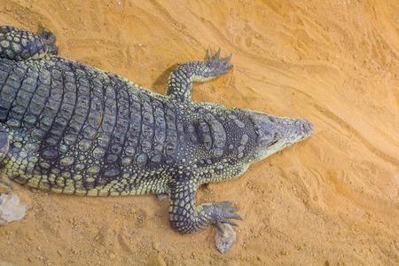 crocodylus: group of dangerous Nile crocodiles resting (Crocodylus niloticus)