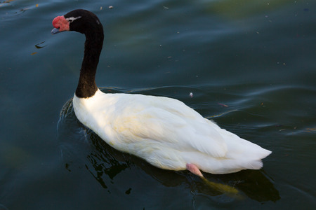 necked: Necked Swan (Cygnus melancoryphus) Stock Photo