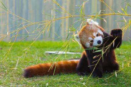 red leaves: The panda red or lesser panda (Ailurus fulgens)